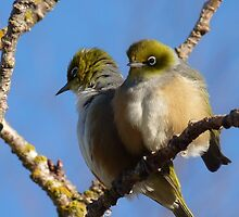 Really! - I don't believe it! - Silvereye - New Zealand by AndreaEL