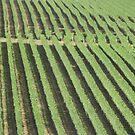 Craigie Range Vineyard by niggle