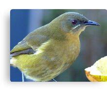Bellbird close up! - New Zealand Canvas Print