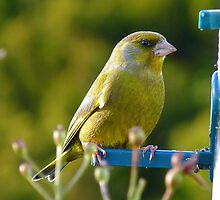 Relaxed Green Finch - New Zealand by AndreaEL