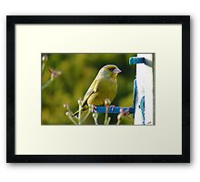 Relaxed Green Finch - New Zealand Framed Print