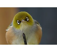 Don't even think about it! Silvereye - Wax Eye - New Zealand Photographic Print