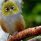 Are you QUESTIONING ME! - Silvereye - Wax Eye - New Zealand by AndreaEL