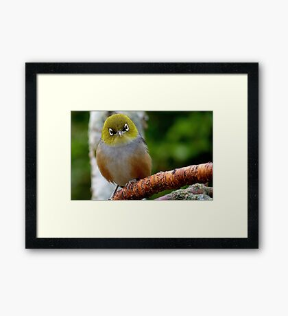 Are you QUESTIONING ME! - Silvereye - Wax Eye - New Zealand Framed Print