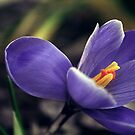 Crocus by Debbie Sickler