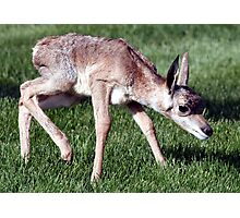 Infant Antelope Photographic Print