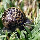 Snail with Dew Drops by Debbie Sickler
