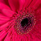 Red Gerbera by Ben Shaw