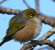 I'm sleepy! - Silvereye, Wax Eye - New Zealand by AndreaEL
