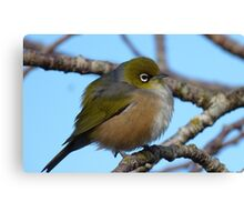 I'm sleepy! - Silvereye, Wax Eye - New Zealand Canvas Print