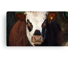 Don't come any closer! - Bull - New Zealand. Canvas Print