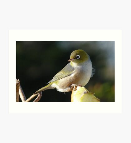 My new Hair do! Silvereye - Wax Eye - New Zealand Art Print