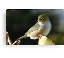 My new Hair do! Silvereye - Wax Eye - New Zealand Canvas Print