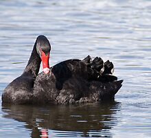 Swanlake by palmerphoto