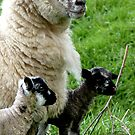 Proud Mum with Twins! - Sheep - NZ Southland by AndreaEL