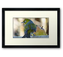 Flutter! - Silvereye - Wax Eye - New Zealand Framed Print