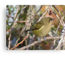 Getting ready to sing! Bellbird - New Zealand Canvas Print