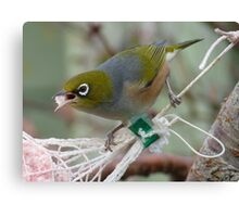 Talking with a mouth full! - Silvereye - Wax Eye - New Zealand Canvas Print
