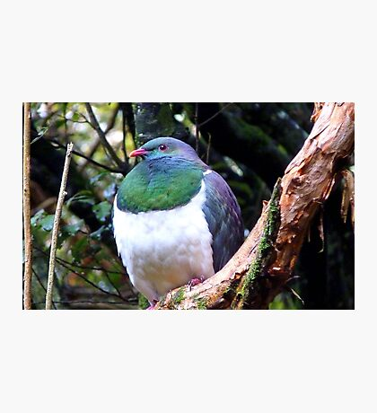 Does this bib fit!! - Wood Pigeon - Dolamore Park - New Zealand Photographic Print
