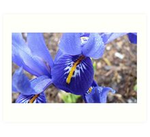 Purple Blue & Yellow Beauty - Iris Histrioides - Gore Gardens - New Zealand Art Print