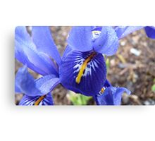 Purple Blue & Yellow Beauty - Iris Histrioides - Gore Gardens - New Zealand Canvas Print
