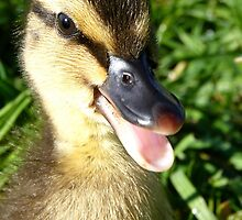 I have arrived! - Duckling - NZ - Southland by AndreaEL