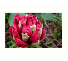Cherry Pocket Hankey! - Rhododendron - Gore Gardens - New Zealand Art Print