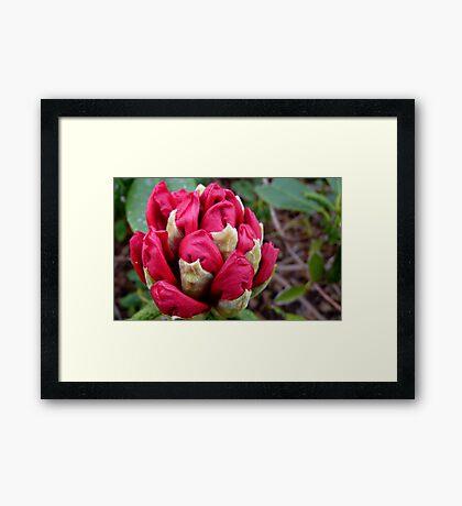 Cherry Pocket Hankey! - Rhododendron - Gore Gardens - New Zealand Framed Print