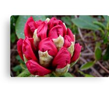 Cherry Pocket Hankey! - Rhododendron - Gore Gardens - New Zealand Canvas Print