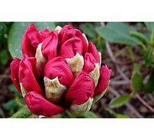 Cherry Pocket Hankey! - Rhododendron - Gore Gardens - New Zealand Photographic Print