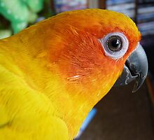 What can I say! - Sun Conure - NZ ** by AndreaEL