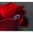 Ladybird on rose. by Ellen van Deelen