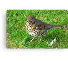 Who left these feathers! Song Thrush - New Zealand Canvas Print