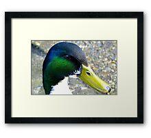 I'm back - Mallard Duck - Invercargill - New Zealand Framed Print