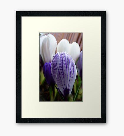 Purple Pin Stripe! - Crocus - Gore Gardens - New Zealand Framed Print