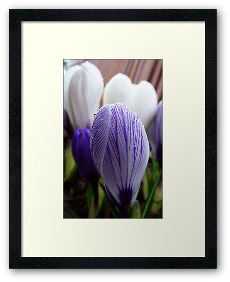 Purple Pin Stripe! - Crocus - Gore Gardens - New Zealand by AndreaEL