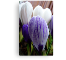 Purple Pin Stripe! - Crocus - Gore Gardens - New Zealand Canvas Print