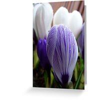 Purple Pin Stripe! - Crocus - Gore Gardens - New Zealand Greeting Card