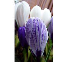 Purple Pin Stripe! - Crocus - Gore Gardens - New Zealand Photographic Print