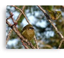 I'ts A Wonderful Life!- Bellbird - Southland - New Zealand Canvas Print