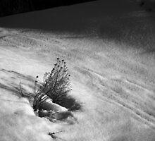 Rabbit Brush in Snow by Ryan Houston