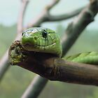 Western Green Mamba Closeup by Jocelyn Hyers