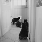 Waiting by the Catflap! by Angela Harburn