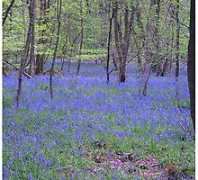 Beautiful bluebells number 2 by InterestingImag
