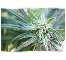 Cannabis flower and leaves  Poster
