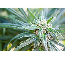 Cannabis flower and leaves  Photographic Print
