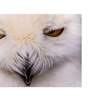 The Face of a Snowy Owl by Dave  Knowles