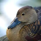 Black Duck Resting by palmerphoto