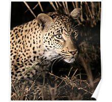 Leopard(kikilezi) on the hunt Poster