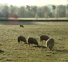 Winter Sheep by Murdo  Anderson
